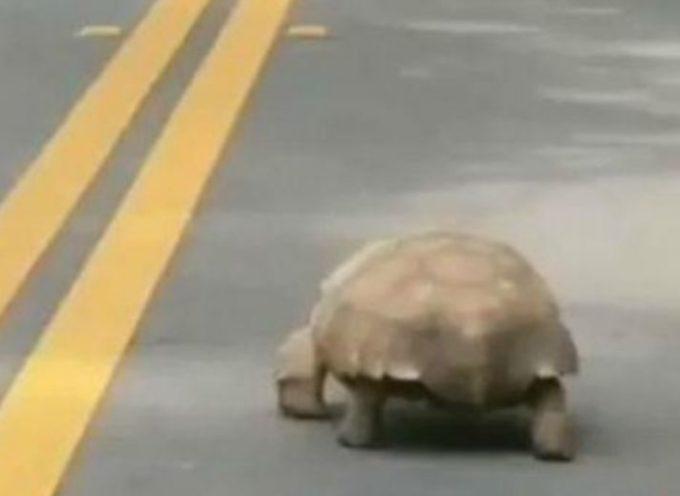 Una tartaruga biricchina conduce il più lento inseguimento della polizia di tutti i tempi