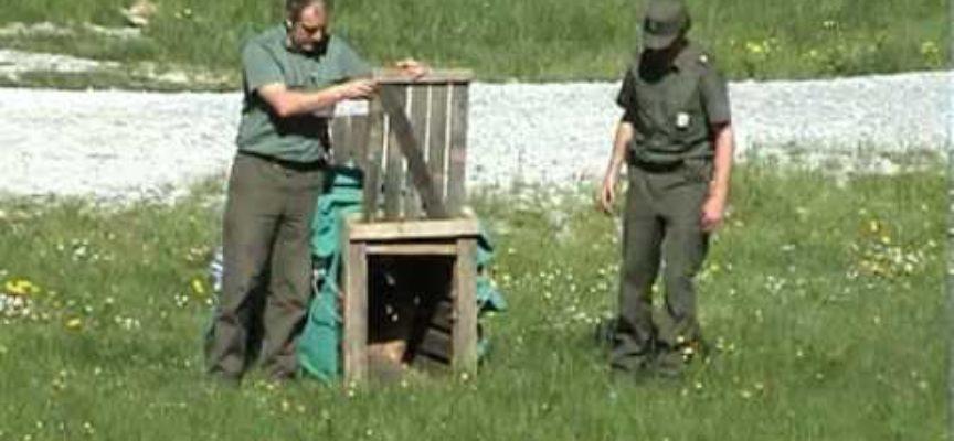 Centro Recupero Animali Selvatici di Cuneo Liberazione Capriolo e Biacco