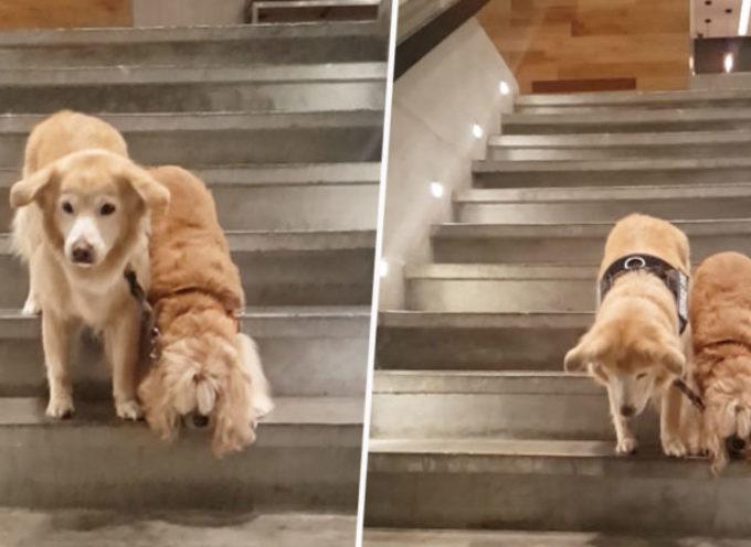 Il video del cane cieco guidato da un altro cane commuove il web