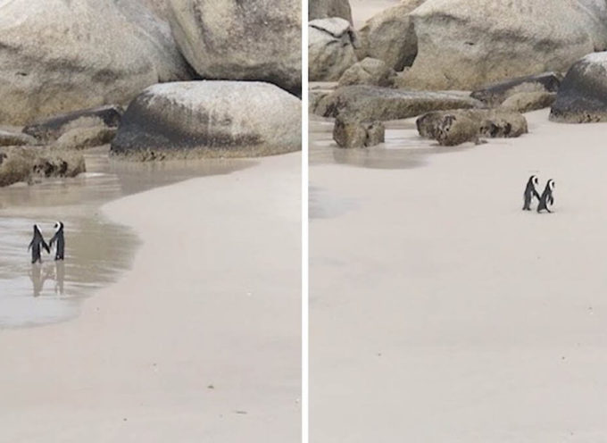 Coppia di pinguini viene avvistata facendo una passeggiata romantica mano nella mano su una spiaggia