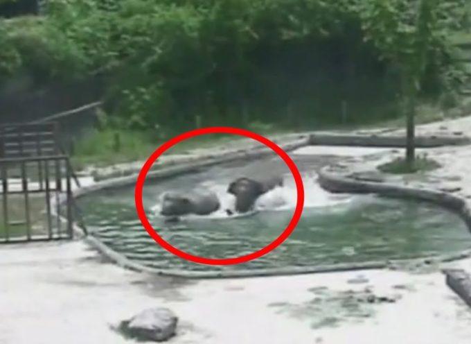 Cucciolo di elefante cade in piscina e due elefanti si precipitano disperati per salvarlo