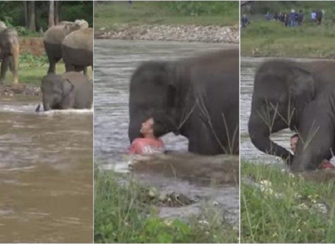 L'elefantino si preoccupa e salva l'uomo che erroneamente lo ha ritenuto in pericolo