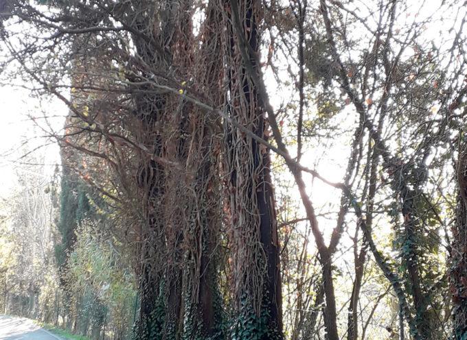 Saranno rimossi 10 cipressi in via Piana. L'amministrazione pianterà nuove alberature in numero almeno pari a quelle che verranno tolte.