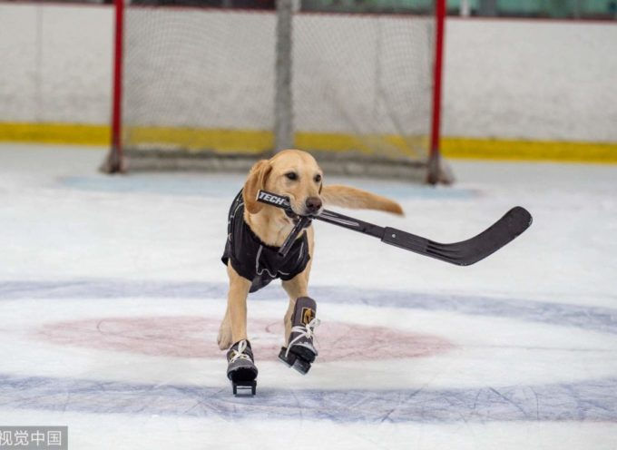 Benny, il Labrador che pattina sul ghiaccio, da piccolo rischio di essere soppresso