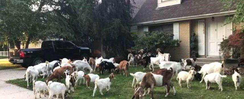 Più di 100 capre affamate conquistano un quartiere e diventano virali