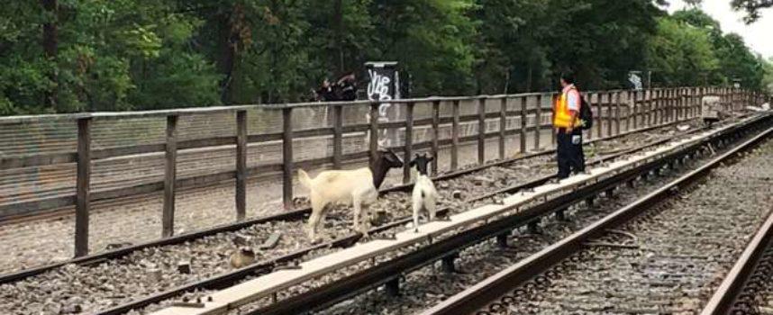 Un paio di capre vengono salvate dal comico Jon Stewart sui binari della metropolitana di New York