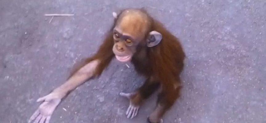 La richiesta di aiuto disperata con le braccia allungate di un piccolo scimpanzé ha commosso tutto il mondo