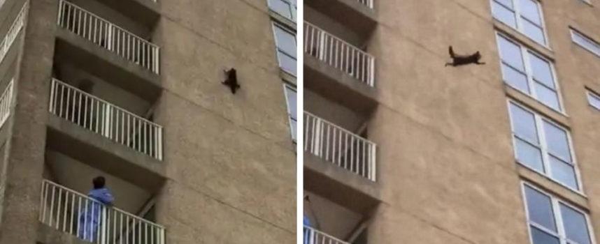 L'incredibile momento in cui un procione scala un grande edificio e poi si tuffa nel vuoto