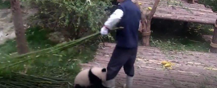 Baby Panda molto bisognoso non si stacca dal suo amico custode