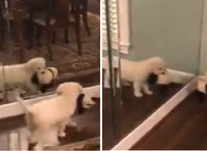 Un cucciolo prova in continuazione a condividere il suo giocattolo con il cucciolo che vede nello specchio