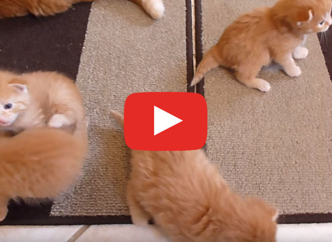 6 Gattini Ginger imparano a camminare