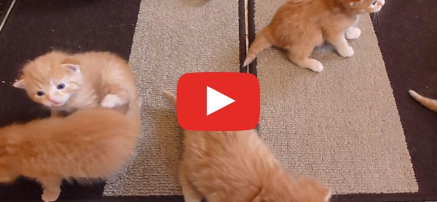 6 Gattini Ginger imparano a camminare