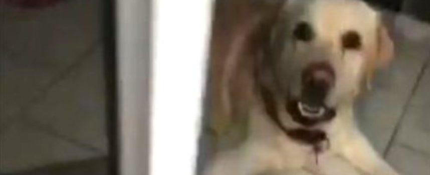 Un labrator stupisce tutti quando riesce a liberare il suo proprietario che era rimasto chiuso a chiave