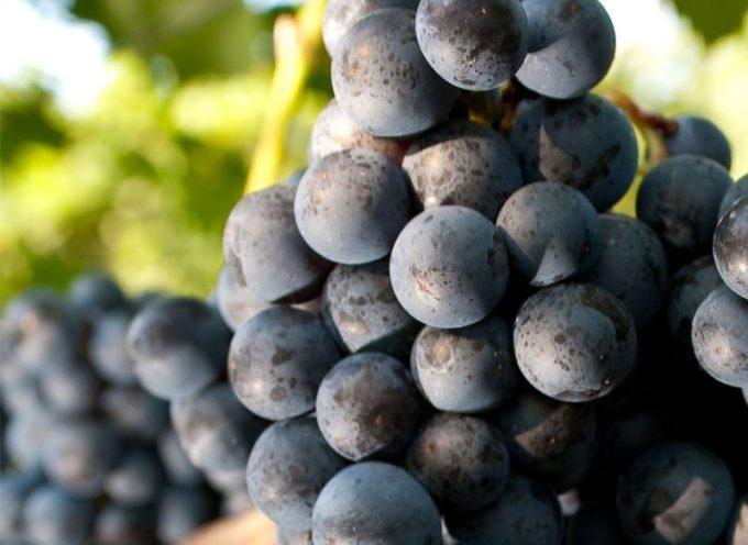 innovazione nel vino. Grazie alla ricerca, vitigni di ultima generazione resistenti alle malattie