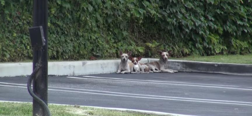 Tre chihuahua sono stati abbandonati sulle strade, due di loro erano feriti da un colpo di pistola