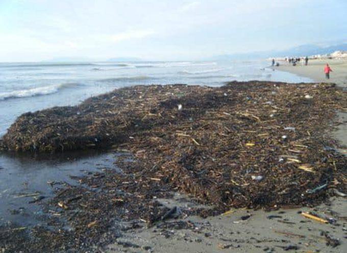 """Sul fenomeno """"Lavarone"""" che periodicamente infesta le spiagge della Versilia"""
