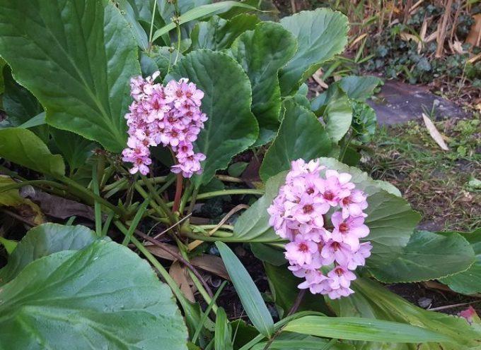 Le piante che non temono l'inverno: la Bergenia.