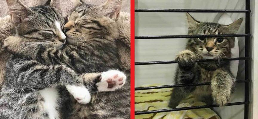 Due gattini rifiutano separarsi ogni volta che qualcuno vuole adottare uno di loro!