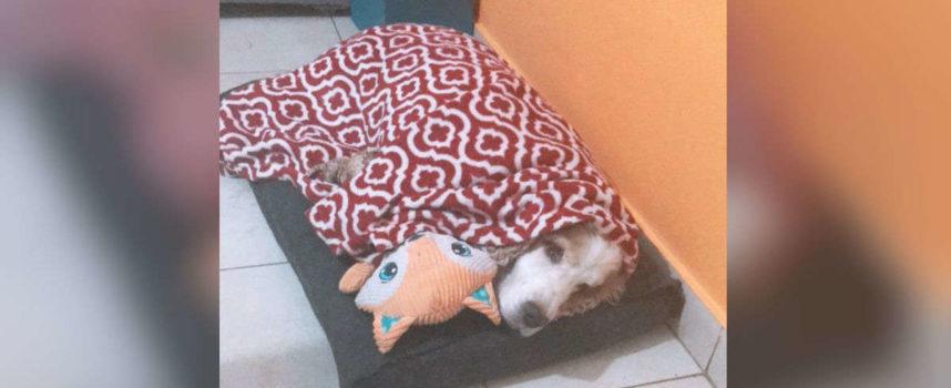 """Il cane non può dormire se non è """"avvolto"""" nella sua coperta preferita"""