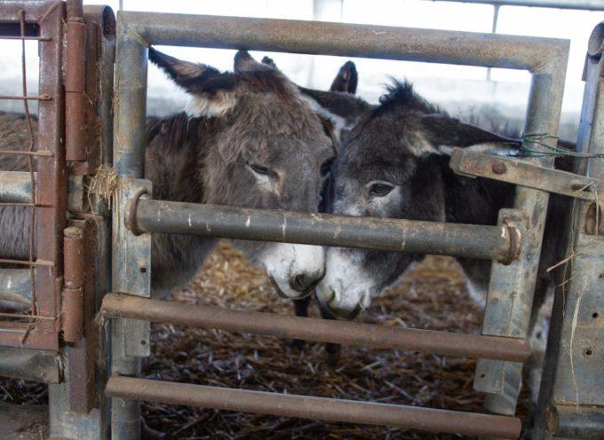 Ci sono 40 asini da adottare urgentemente ad Alessandria