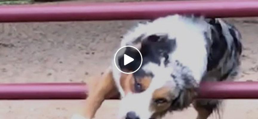 I cani sono delle vere star di Parkoure lo dimostrano nelle loro attività quotidiane