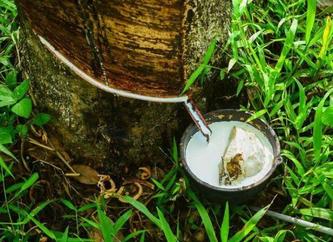 Gomme naturali, atossiche e made in Italy: così il tarassaco soppianterà il caucciù