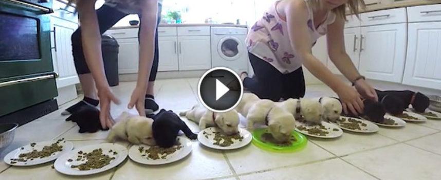 I cuccioli di Labrador mangiano del cibo solido per la prima volta, ed è tutto meraviglioso!