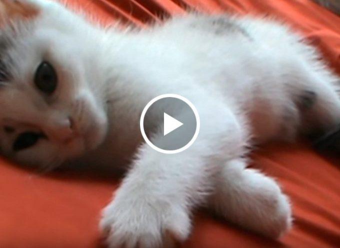 Gattino assonnato vuole alcuni baci e coccole sulla pancia