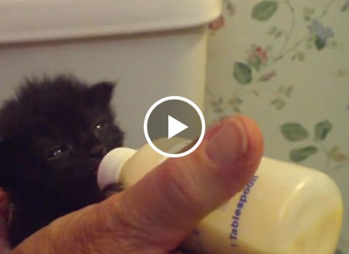 Polly, il gattino che muove le orecchie quando è il momento della poppata
