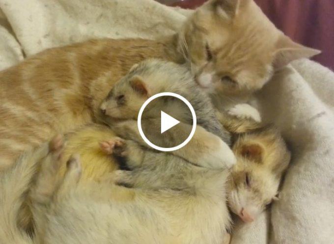 Gatto affettuoso ama i suoi due amici furetti come se fossero dei gattini