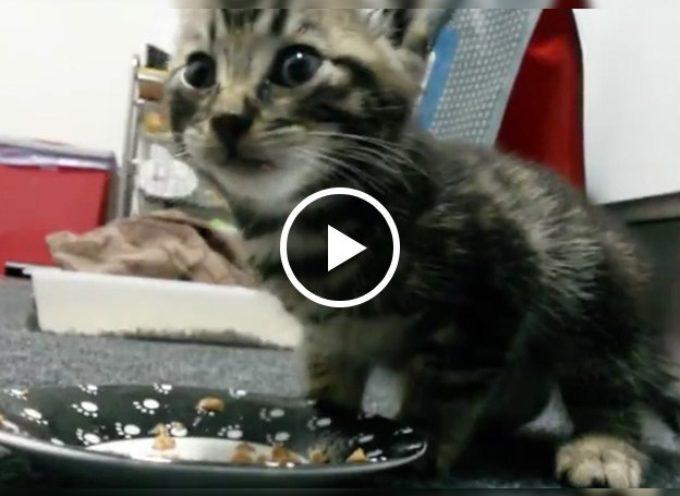 Un piccolo gattino gode come un matto davanti al suo primo pasto dopo essere stato salvato