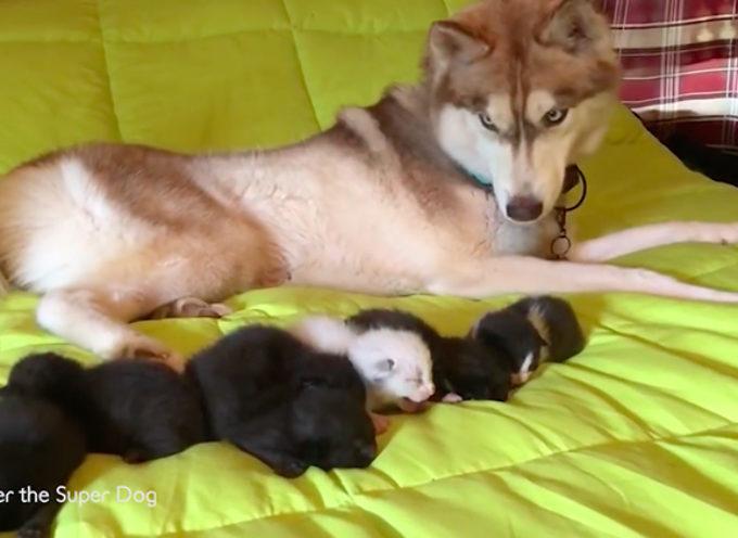 Banner, l'husky che ha salvato 7 gattini rinchiusi dentro una scatola