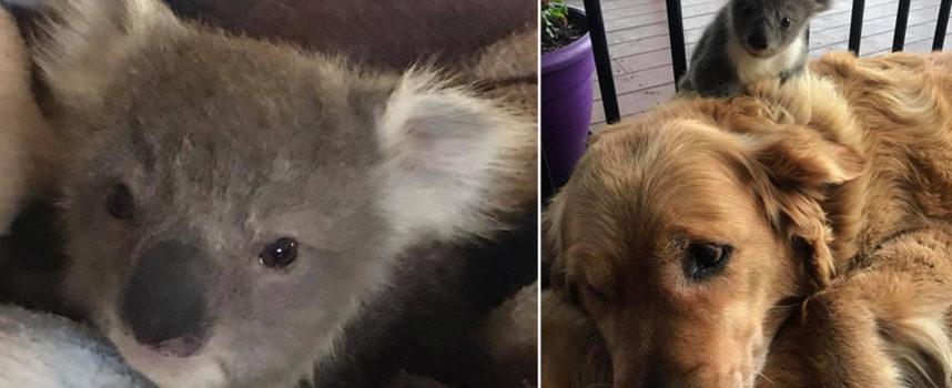 Golden Retriever arriva a casa con Cucciolo di Koala aggrappato alla schiena per sopravvivere