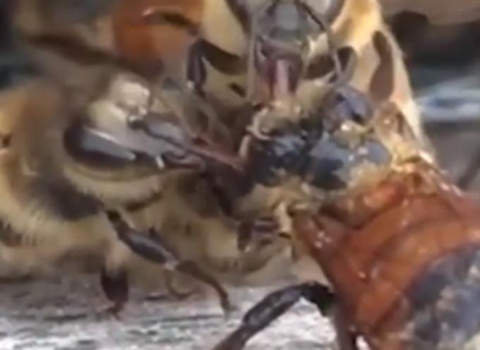 Queste api compassionevoli si uniscono per salvare la vita del loro amico