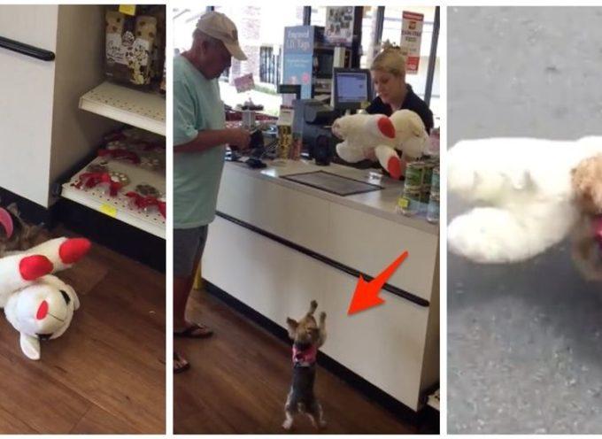 """Sceglie il giocattolo più grande del negozio e intraprende una """"missione"""" per portarlo sulla schiena"""