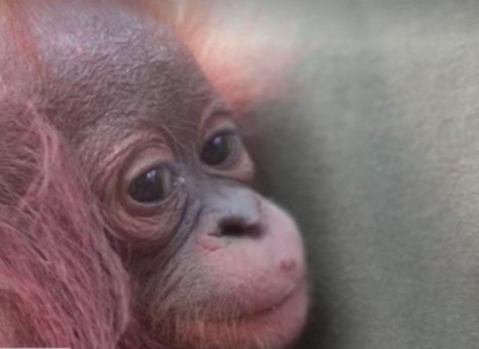 Un orangotango orfano si aggrappa teneramente all'uomo che lo ha liberato da un futuro incerto