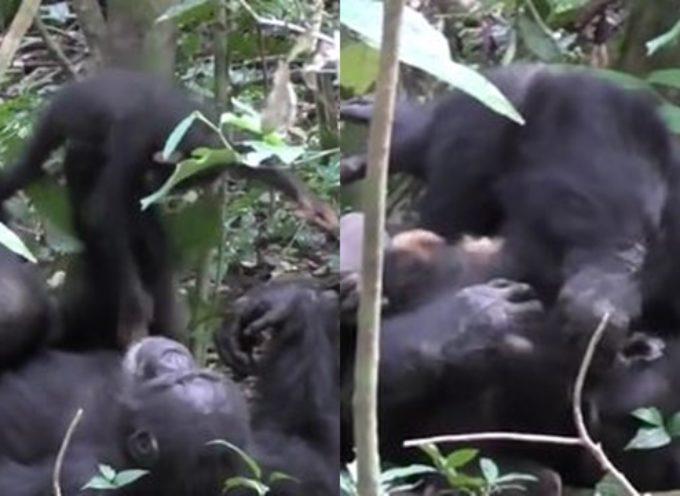 """Mamma scimpanzè """"gioca"""" con il cucciolo come facciamo noi esseri umani"""