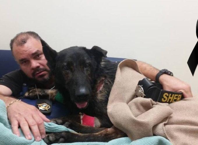 Il tenero tributo che questo cane poliziotto ha ricevuto prima di morire si trasforma in lacrime