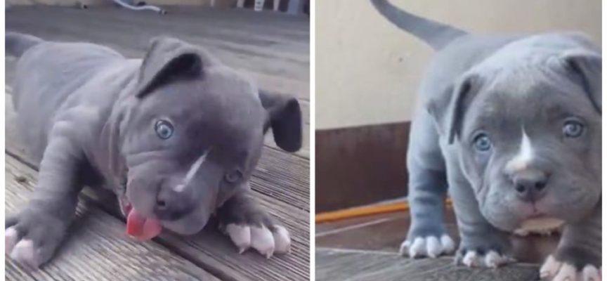 La pericolosa tenerezza dei cani pitbull