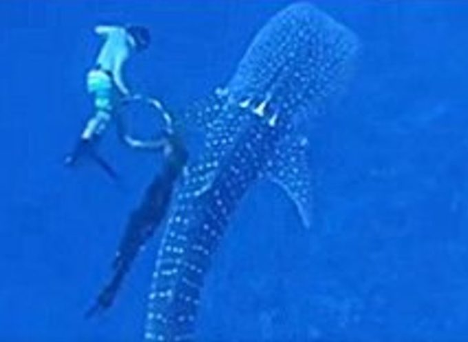 Una famiglia rischia la vita per salvare un pericoloso squalo balena