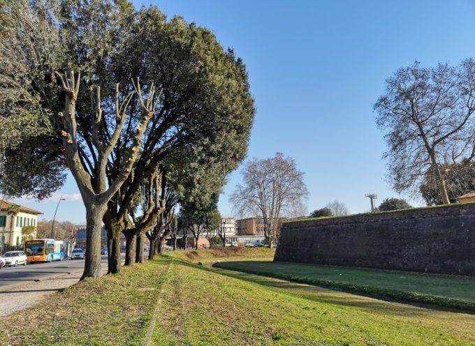 lucca – Sistemazione degli alberi lungo i viali della circonvallazione: