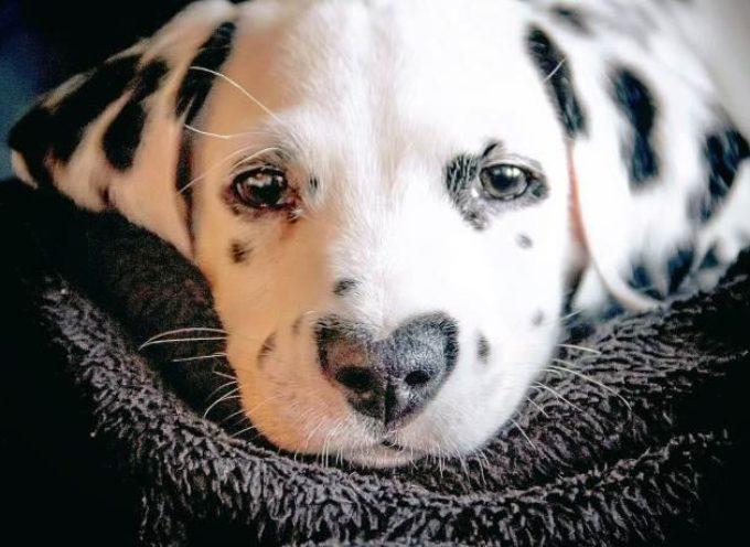 Wiley, il cane con il naso a forma di cuore che ti conquisterà