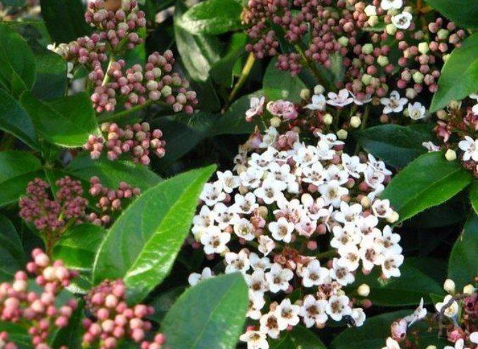 Iniziano  a risvegliarsi le prime fioriture, come quella del Viburnum tinus: