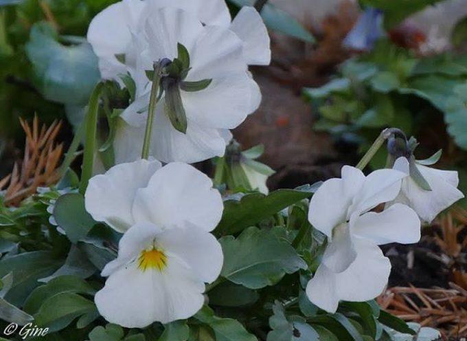 I fiori del freddo: