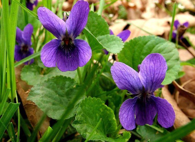 Le prime violette di stagione…