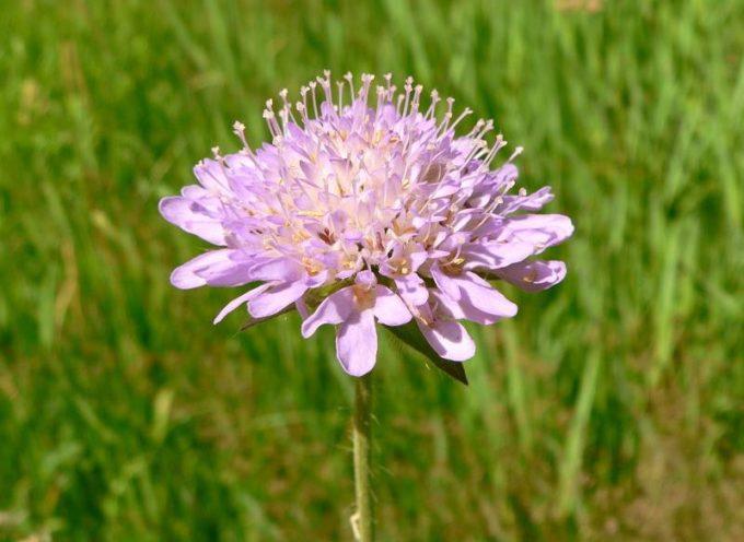 L'Ambretta contiene tannini; è quindi una pianta medicinale conosciuta fin dall'antichità.