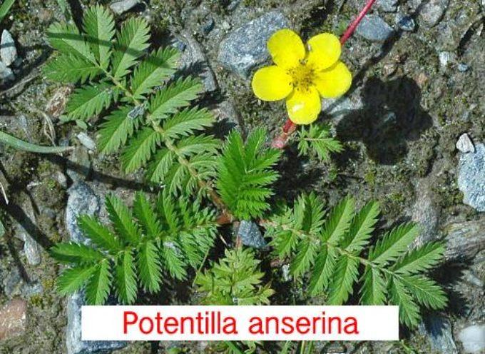 POTENTILLA ANSERINA – ARGENTINA