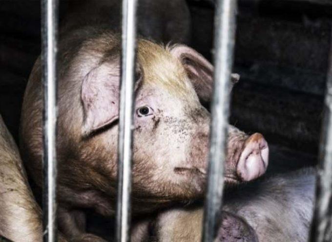Viaggio nell'orrore degli allevamenti italiani di maiali: nuove immagini esclusive