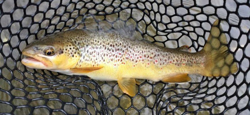 A fine febbraio è fissata l'apertura della pesca alla trota