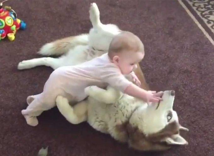 L'incredibile interazione tra un bambino e un'husky, vi terranno incollati al video